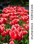 a lot of beautiful red tulips... | Shutterstock . vector #418416166