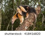 a mother anteater carries her... | Shutterstock . vector #418416820