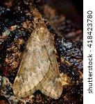Small photo of March moth (Alsophila aescularia). British insect in the family Geometridae, the geometer moths
