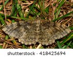 Small photo of Mottled beauty moth(Alcis repandata). British insect in the family Geometridae, the geometer moths