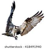 Osprey In Flight On White...