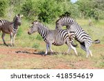 zebra trying to mate with... | Shutterstock . vector #418554619