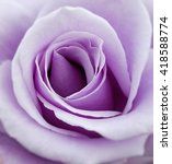 Close Up Of A Purple Rose...