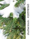 Snowy Fir Tree Branches  Closeup