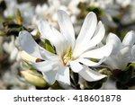 Magnolia Stellata A Winter...