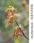 Small photo of Maple or American maple ( Latin name Acer negundo). Blooming branch