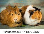 A Pair Of Guinea Pigs On The...