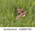 Baby White Tailed Fawn Looking...