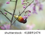 Small photo of Gould's Sunbird (Aethopyga gouldiae), eating Cherry Blossoms, Thailand.