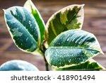 Potted Ficus Elastica Plant  O...