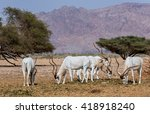 Small photo of Curved horned antelope Addax (Addax nasomaculatus) is a wild native inhabitant of the Sahara desert. Due to danger of extinction it was introduced and acclimatized in nature reserve near Eilat, Israel