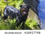 Angry Dog  Rottweiler