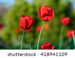 amazing nature of red tulips... | Shutterstock . vector #418941109