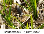 A Black Grass Snake Natrix...
