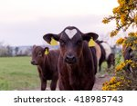calves and cows looking at... | Shutterstock . vector #418985743