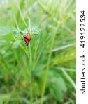a couple of ladybugs mating in... | Shutterstock . vector #419122534