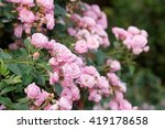 Stock photo beautiful pink roses in garden 419178658