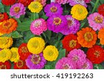 Flowers zinnia  elegans.  color ...