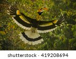 Great Hornbill Male Flying In...
