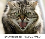 Stock photo angry cat closeup the cat growls 419227960