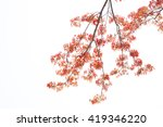 Royal Poinciana Tree On White...
