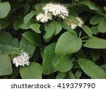 beautiful bouquet of white wild ... | Shutterstock . vector #419379790