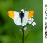 Orange Tip Butterfly...
