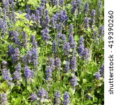 Small photo of Bugle - Ajuga reptans Mass of flowers in long grass