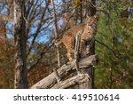 Bobcat  Lynx Rufus  Looks Left...