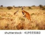 Red kangaroo standing up in...