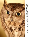 Small photo of African scops owl (Otus senegalensis) close up