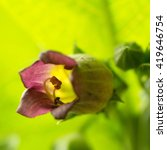 Small photo of Flower of black Belladonna
