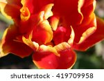 Small photo of Tulip Allegretto with double set of petals