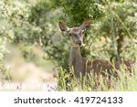 female deer  pregnancy ... | Shutterstock . vector #419724133