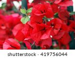 Flowers Red Bougainvillea