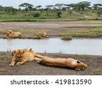Lions Family In Tanzania