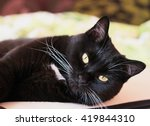 Small photo of Portrait of a black cat with a white whiskers and eyebrows