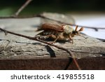 may beetle on the tree | Shutterstock . vector #419855518