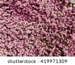 saxifraga arendsii hybrids | Shutterstock . vector #419971309