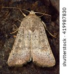 Small photo of Vine's rustic moth (Hoplodrina ambigua). British insect in the family Noctuidae, the largest British family moths in the order Lepidoptera