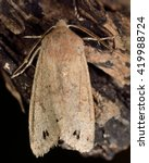 Small photo of Twin-spotted quaker moth (Anorthoa munda). British insect in the family Noctuidae, the largest British family moths in the order Lepidoptera