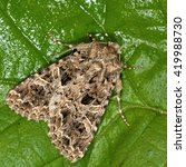 Small photo of The lychnis moth (Hadena bicruris). British insect in the family Noctuidae, the largest British family moths in the order Lepidoptera