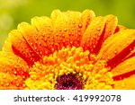 Yellow Gerbera Flower In The...