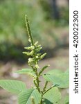 Small photo of close up amaranthus lividus plant in nature garden