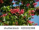 Red Horse Chestnut Tree  ...