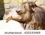 Portrait Arabian Camel  Camelus ...