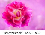 Magenta Purple Tulip Flower...