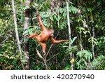 the orangutan in the wild | Shutterstock . vector #420270940