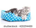 Stock photo cute american shorthair kitten lying in cat bed on white back ground isolated 420294400