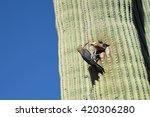 Gila Woodpecker Breeding Pair...